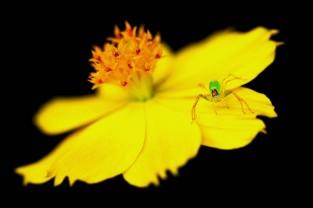 Lyssomanes é uma aranha gênero do Salticidae família (aranhas saltadoras). Cerca de 80 espécies foram descritas, que vão desde do Sul e América Central , até o sul dos Estados Unidos . Eles são de pernas longas, com corpos translúcidos freqüentemente verdes ou amarelos. Belém, Pará, Brasil. Foto Carlos Borges
