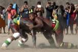 Huka-huka Luta corporal que na terminologia kamaiurá lembra os gritos dos lutadores ao se defrontarem imitando o rugido da onça. Os anfitriões enfrentam uma aldeia convidada de cada vez, começando por lutas individuais de campeıes reconhecidos. Seguem-se lutas simultâneas de vários pares de rivais, até as lutas dos muito jovens. Os lutadores se defrontam batendo o pé direito no chão, dando voltas no sentido dos ponteiros do relógio, com o braço esquerdo estendido e o direito retraído, enquanto gritam alternadamente: hu! ha! hu! ha! Até que chocam as mãos direitas e enlaçam o pescoço do adversário com a esquerda. A luta, que pode durar poucos segundos, termina quando um dos adversários é derrubado, o que não tem que ocorrer literalmente, bastando que a parte posterior de um de seus joelhos seja agarrada pela mão do outro, o que é considerado condição suficiente para provocar-lhe a queda. As aldeias convidadas não lutam entre si. Os enfeites dos troncos do Kwarup podem ser dados aos lutadores vencedores e também aos dois tocadores de maracá.. Querência, Mato Grosso, Brasil. 26/07/2015 Fonte: ISA