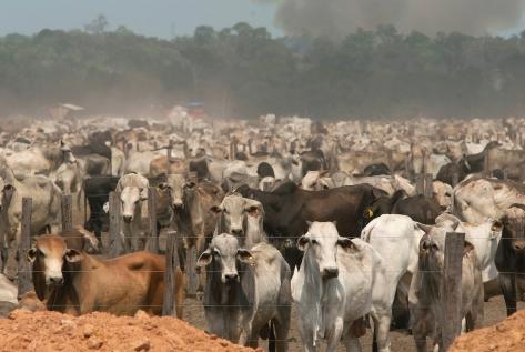 Gado - Fazenda para descanso de gado durante transporte para embarque ou abate, rod Pa 150 Mojú, Pará, Brasil. 11/11/2010. Foto Paulo Santos