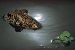 Jacaré açu. Mamiraua, Amazonas, Brasil. Foto Paulo Santos